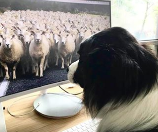 dog working at home